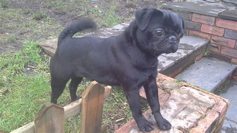 pug 1 year black pug 1 year manchester greater manchester pets4homes
