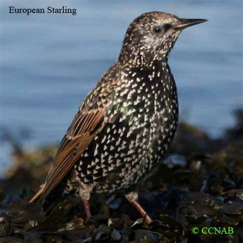 starling north american birds birds of north america