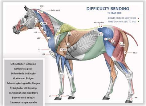 horses muscles diagram muscles all about the