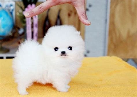 smallest pomeranian breed 13 cutest small dogs that stay small forever lifestyle9