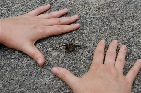 how can i my not to bite nyc pest companies symptoms from a wolf spider