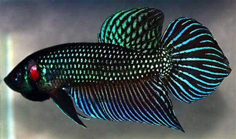 Pakan Ikan Cupang Plakat perbedaan cupang hias dan cupang adu informasi perikanan