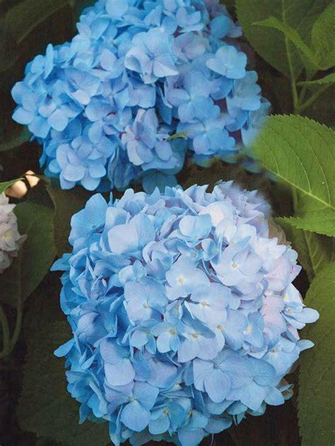 Die Schönsten Balkonpflanzen 3395 by Die Sch 246 Nsten Blauen Blumen Im Garten Anbauen
