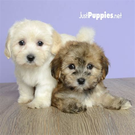 just puppies orlando fl born 7 6 14 call 407 422 7877