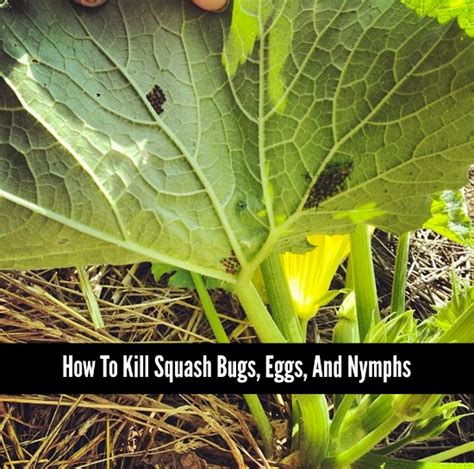 how to kill bed bug how to kill squash bugs eggs and nymphs