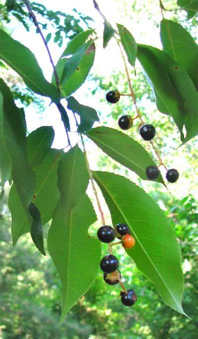 black and cherry tree black cherry tree prunus serotina