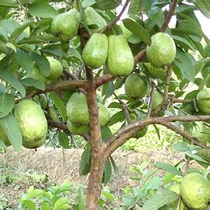 50 fruit tree 50 particles new home garden plant guava fruits tree seeds