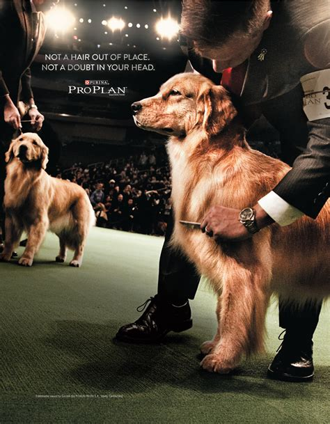 golden retriever news golden retriever news ads golden retriever club of america