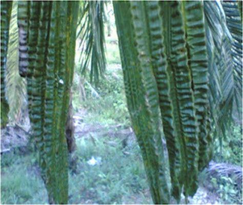 Pupuk Sawit Boron gejala kekurangan pupuk tanaman kelapa sawit