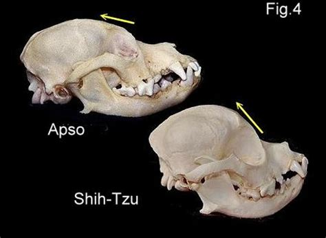 shih tzu vs lhasa apso chihuahua and lhasa apso mix breeds picture