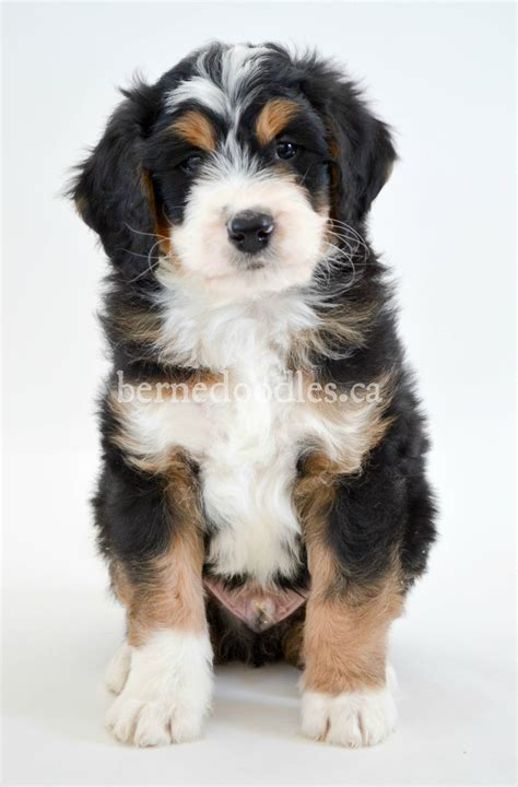 mini bernedoodle puppies available bernedoodle puppies