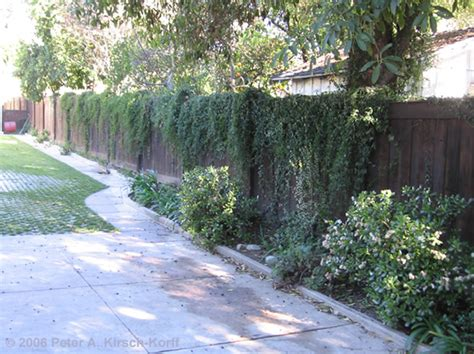 top 28 vines to cover fences beautiful fence cover picture by rbsgrl for vines grow