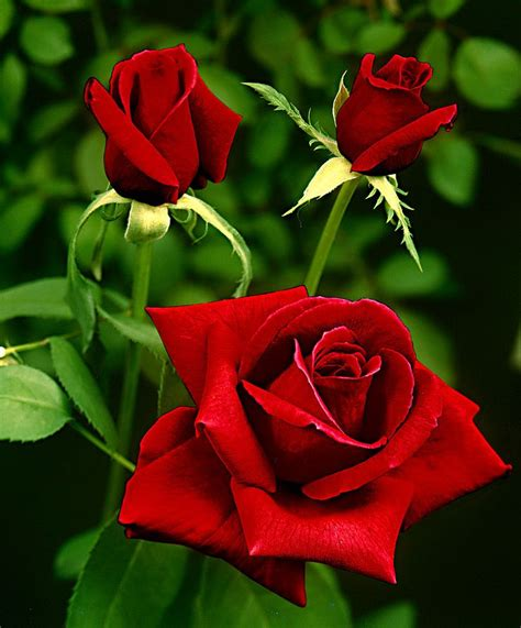 Rose Can | 25 best ideas about red roses on pinterest roses red