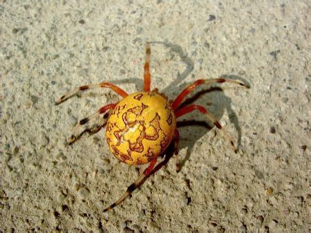 Spider With Yellow Pattern On Back | yellow spider bugs bugs bugs pinterest