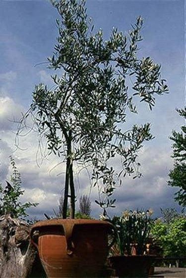coltivazione olivo in vaso olivo in vaso olivo