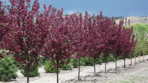 small purple tree fruitless flowering crabapple a dense oval upright tree