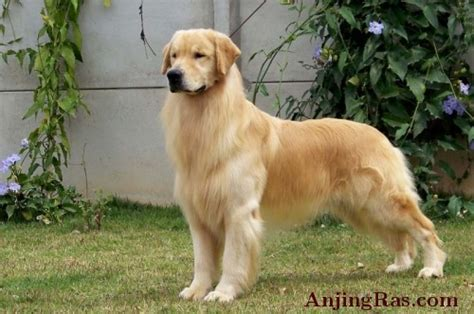 golden retriever indonesia puppies golden retriever show quality chion import jual anak anjing artikel