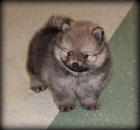 buy pomeranian teddy teddy pomeranian puppies for sale breeds picture