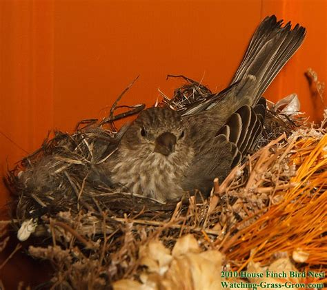 house finch predators house finches nest again in 2010 live webcam