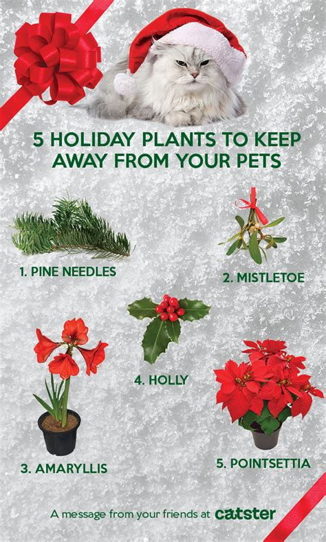 infographic 5 holiday plants that pose a danger to cats