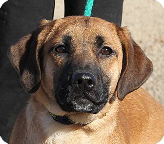 boxer golden retriever mix cheeka adopted stamford ct golden retriever boxer mix