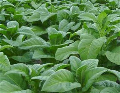 Minyak Atsiri Tembakau gt rokok herbal zid plus my global s