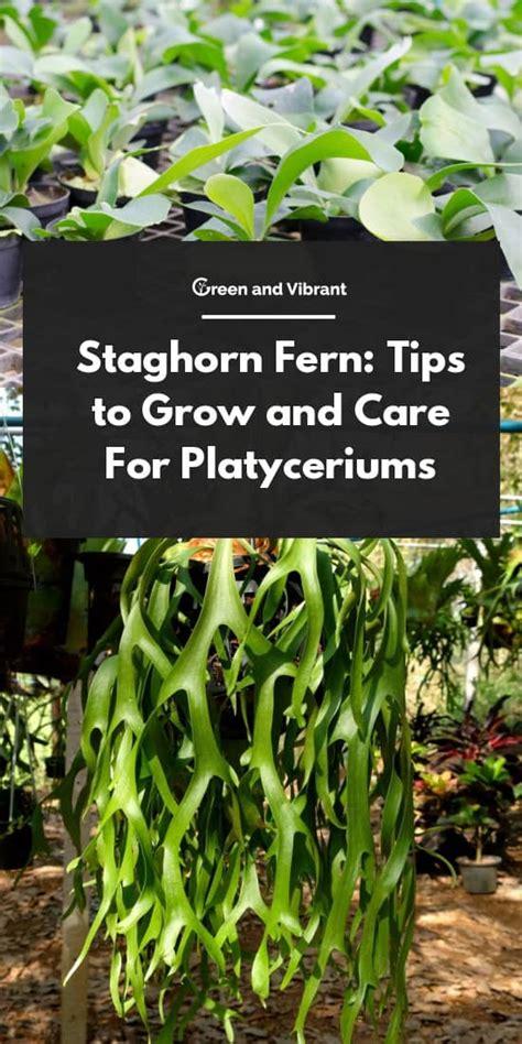 staghorn fern tips  grow  care  platycerium