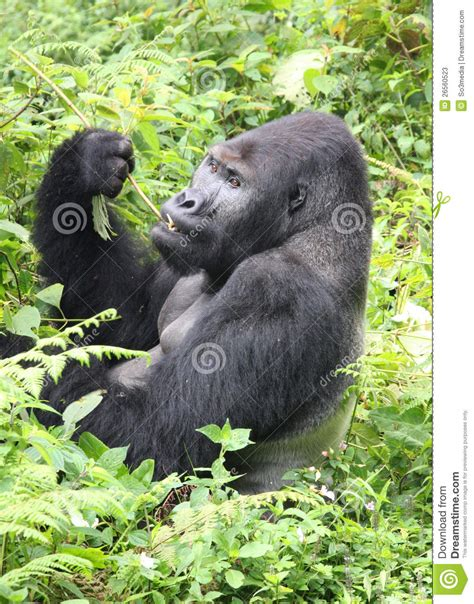 Silverback Lowland Gorilla Eating Lunch In The Con Stock ...