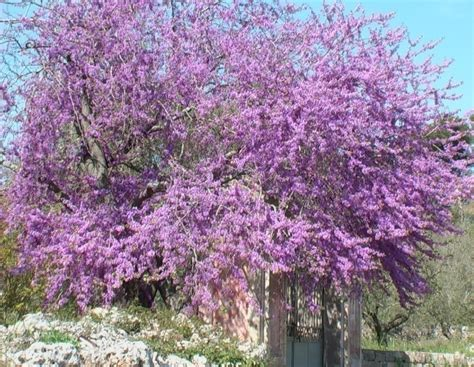 albero di giuda verdeostuni