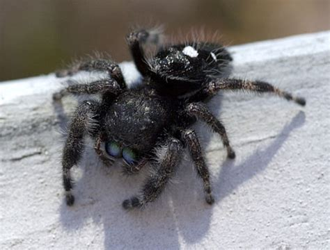 jumping house spiders how to identify venomous house spiders dengarden