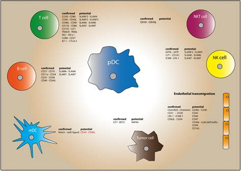 frontiers dendritic cells in the frontiers human plasmacytoid dendritic cells from