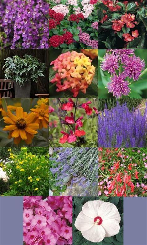 heat tolerant crops heat tolerant plants annuals angelonia butterfly