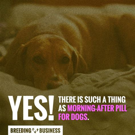 morning after pill for dogs the morning after pill for dogs explained demystified