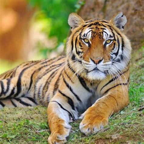 imagenes google tigres m 225 s de 25 ideas incre 237 bles sobre tigre siberiano en