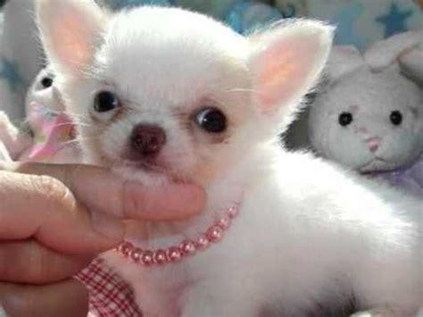 cagnolino piccolo da appartamento come scegliere un di piccola taglia animali dal mondo
