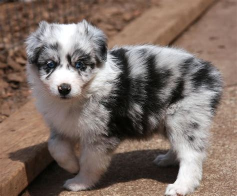 puppy australian shepherd 55 adorable australian shepherd images and pictures