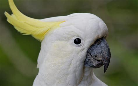 wallpapers white parrot white cockatoo white
