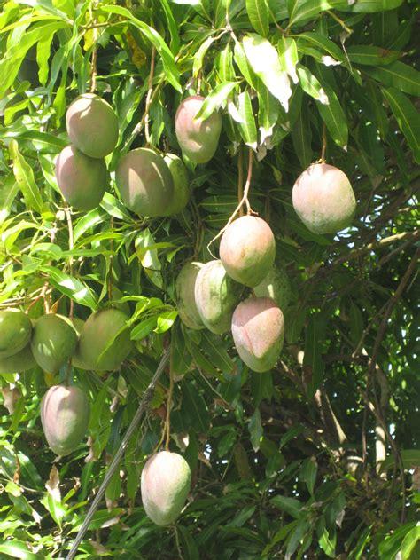 mango tree fruiting caribbean fruit vegetables rosie
