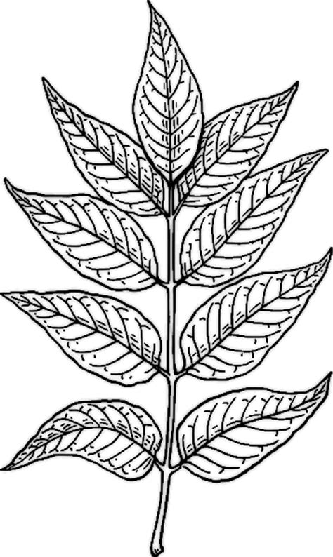 coloring pages of neem tree biology leaf structure shmoop biology