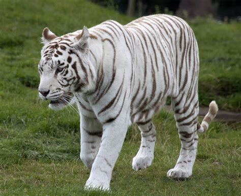 Tiger White white tiger facts for yourkidsplanet