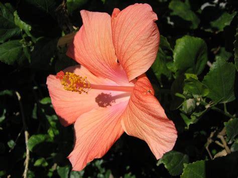 hawaiian yellow hibiscus orange yellow hibiscus a soft hawaiian orange yellow hibiscus flower plant tree