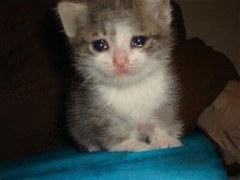 Crying Cat Meme - crying kitten blank template imgflip