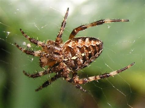 Garden Spider Uk Wiki File Garden Spider Seen On Hedge Geograph Org Uk