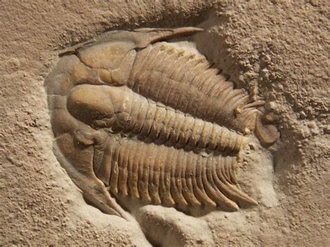 ancient trilobites fossils fossil world