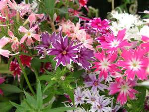 plantfiles pictures annual phlox drummond s phlox twinkle star mix phlox drummondii by