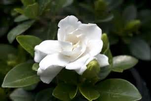 Highly Fragrant Plants - gardenia crown jewel planthaven international