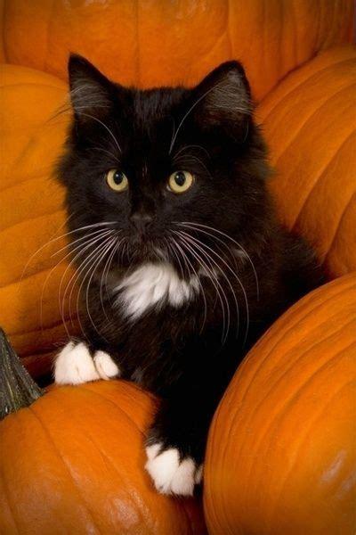cat and pumpkin black cat and pumpkins samhain