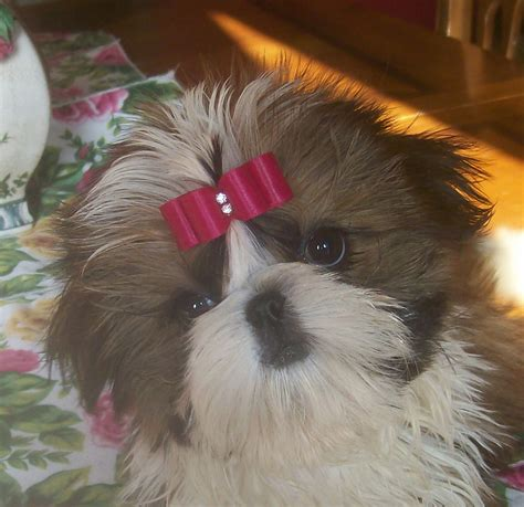 shih tzu breeders in kansas pastpuppies