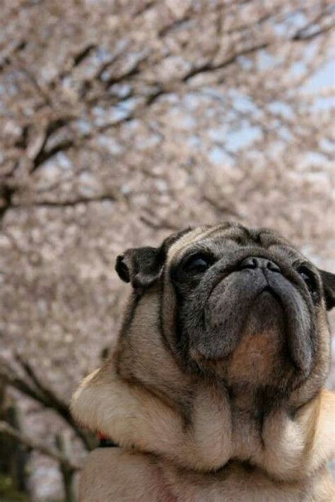see pug run book 17 best images about pugmania on pug cheek to cheek and puppys