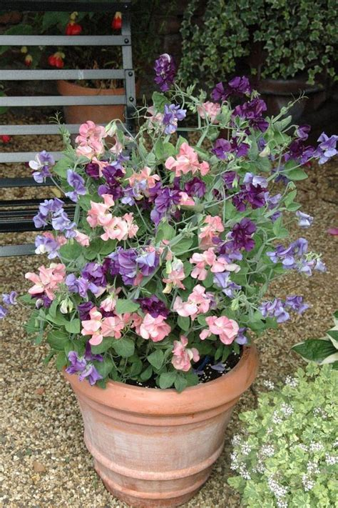 Sweet Pea Planters by 24 Best Vines For Containers Climbing Plants For Pots
